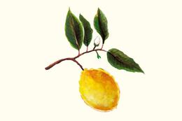 新鮮黃 天然果