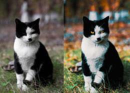 Photoshop调出色彩通透清晰的猫咪图片