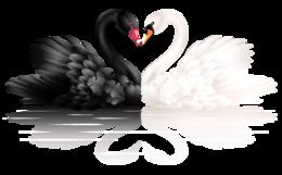 黑白天鹅PNG透明背景
