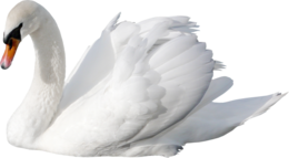 白天鹅PNG透明背景