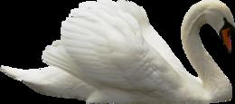 天鹅PNG透明背景