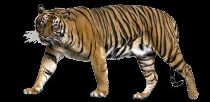 老虎透明背景PNG