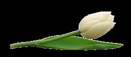 郁金香PNG圖像