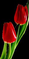 红色郁金香PNG图象