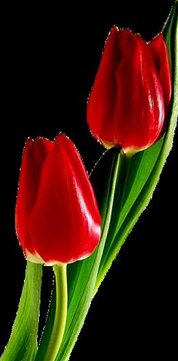 紅色郁金香PNG圖象