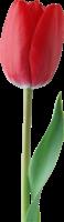 红色郁金香PNG图像